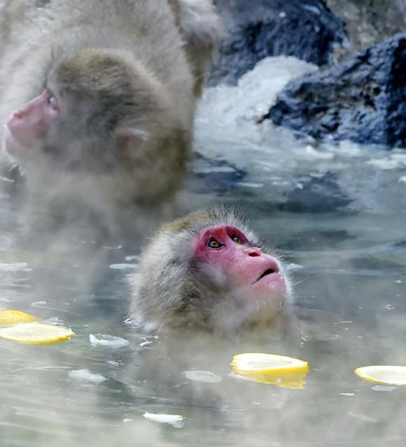 日本福冈动物园的猴子冬至泡柚子澡